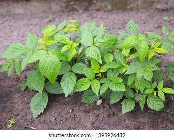 Young plants in the garden, bushes of raspberries