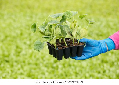 Young plants of hokkaido squash in starter pots with collection of seedlings in the background. Agriculture industry, fresh produce, mass production and commercial trade concept.