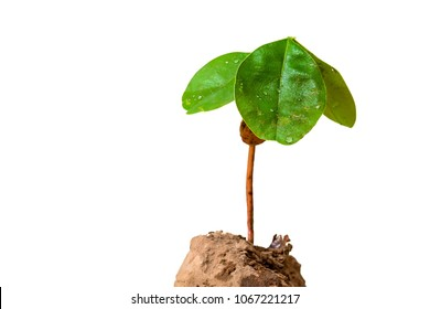 Young plants are on a white background. clipping path