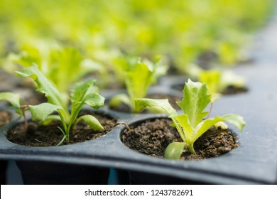 Young plants, Potted seedlings in greenhouse