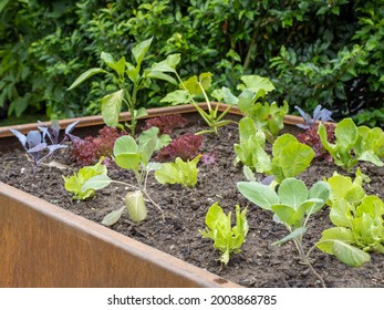 young plants in a rusty raised bed after rain