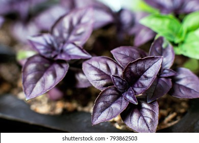 young plants seedlings in the ground, purple leaves of Italian basil