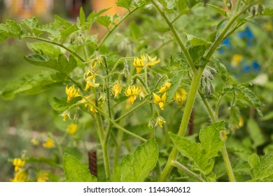 Yellow tomato flower images stock photos vectors shutterstock young plants of tomato with yellow flowers growing in vegetable garden in summertime close up mightylinksfo