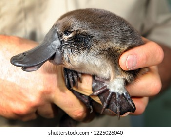 Young platypus close up