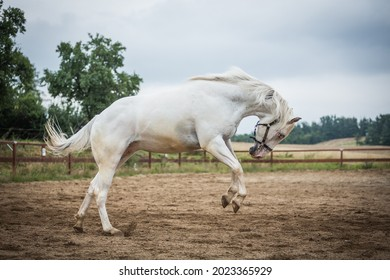 young playful appaloosa gelding running in the paddock