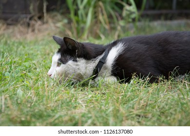 Young, playful black and white cat with a black collar lying in grass, hunting something