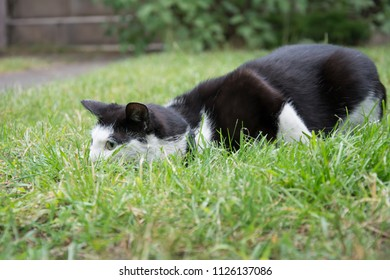 Young, playful black and white cat with a black collar lying in grass, hunting something, lurking