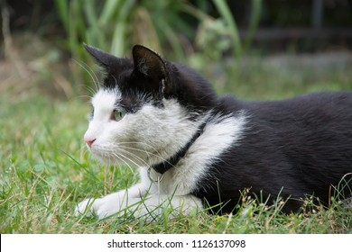 Young, playful black and white cat with a black collar lying in grass, watching something