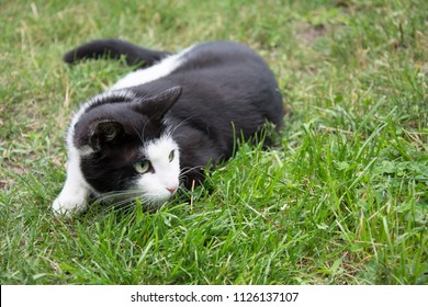 Young, playful black and white cat with a black collar lying on grass and looking at something