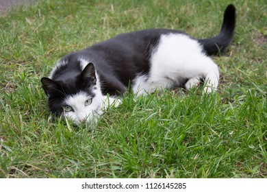 Young, playful black and white cat with a black collar lying on grass and looking in the camera