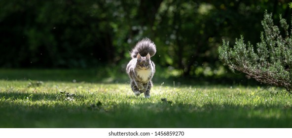 young playful blue tabby maine coon cat with extremely fluffy tail running towards camera on green grass in nature next to a rosemary bush in the sunlight on a summer day