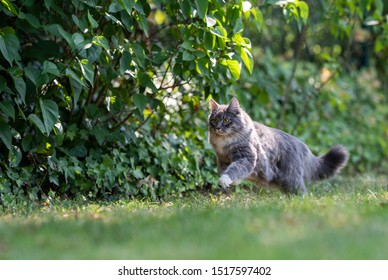 young playful blue tabby white maine coon cat hunting in the garden on a sunny day running on grass next to bushes