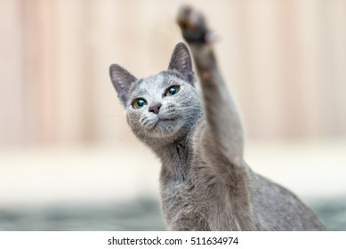 Young playful cat breed Russian blue waves his paw. Focus on cat eyes. Shallow depth of field.