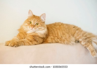 Young playful fluffy ginger cat on the couch