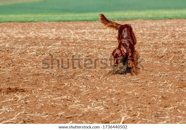 A young, playful Irish Setter runs across the field in the hunting area, chasing a bale of grass.