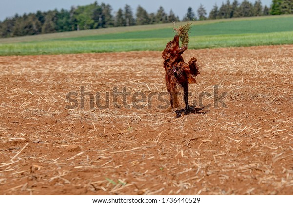 A young, playful Irish Setter runs across the field in the hunting area and throws a bale of grass into the air.