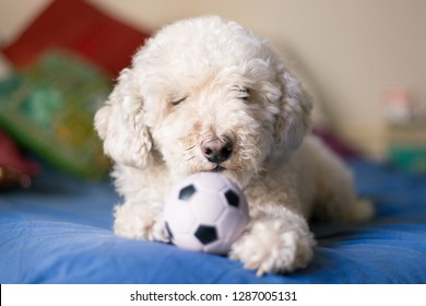 Young playful poodle