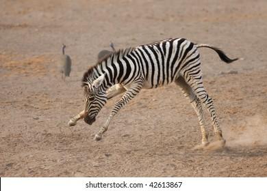 Young playful zebra fooling around by himself; Etosha