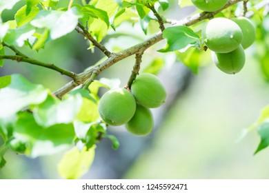 Young plum fruit