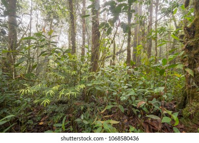 Young Podocarpus tree  growing in misty montane rainforest high on a Tepuy (flat topped sandstone mountain), above Rio Nangaritza Valley in the Cordillera del Condor, Ecuador