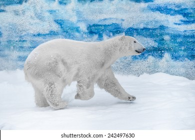 Young Polar Bear playing in snow