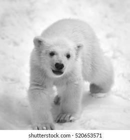 Young polar bear, walking on fresh snow. Black and white image.