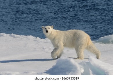 Young polar bear walking over the arctic ice warily eyeing human presence.