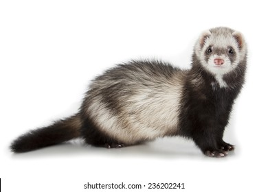 young polecat isolated over white background