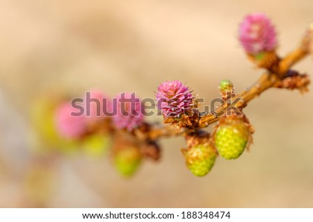 Young Pollen Cones Ovulate Cones Larch Stock Photo (Edit Now