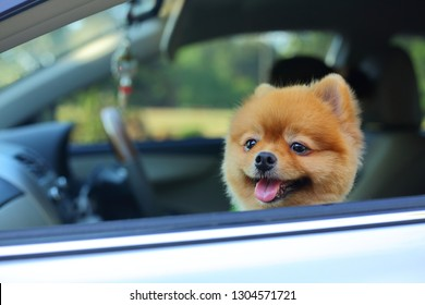 young pomeranian small dog cute pet sitting in car road trip travel