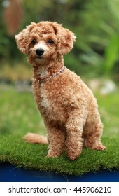 young poodle dog sitting on nature background