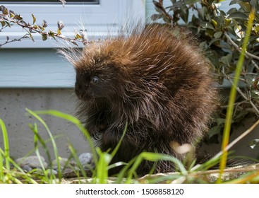 A Young Porcupine Sitting on It's Hind Legs