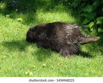 A young porcupine snuffling around on a private home's lawn in search of food during the spring