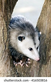 Young possum in the middle of a tree.