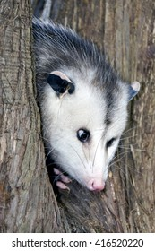 Young possum peeking his head out from a tree.