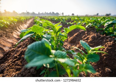 Young potato plant field in the morning,organic farm.