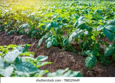 Young potato plant in the field,organic farm.