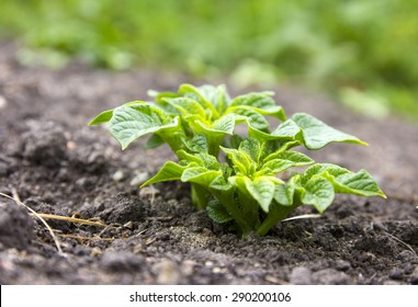 Young potato plant growing on the soil