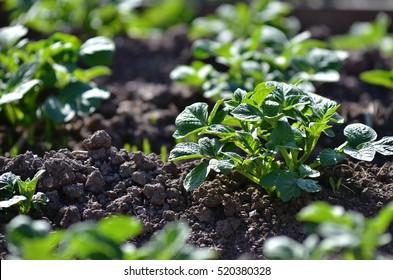 Young potato plant growing on the soil.Potato bush in the garden.Healthy young potato plant in organic garden.
