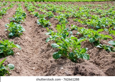Young potato plants growing on the soil in rows