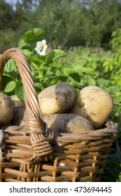 young potatoes on wood basket and leafy tops of root vegetables