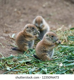 young prairie dogs during feeding