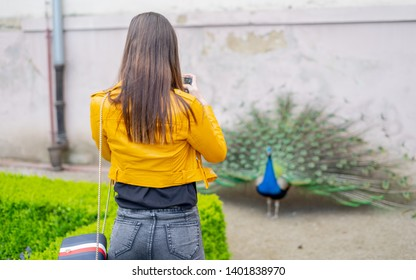 Young pretty girl taking pictures on her mobile. Blue Peacock Walking In A Park. Peacock is undoubtedly one of the most attractive birds with a characteristically long and flashy tail feathers.