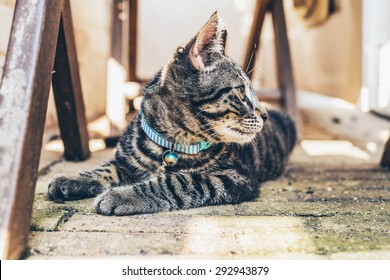 Young pretty striped grey tabby cat wearing a blue collar lying looking back intently over its shoulder as it watches something
