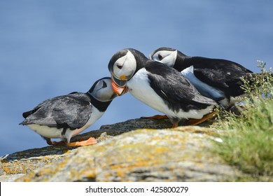 young puffin seeking affection from parent