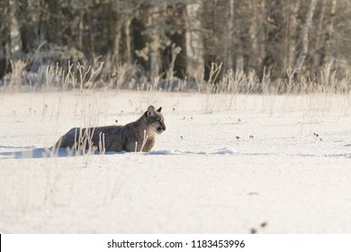 young puma playing in snow, puma in the morning light in snow, attractive winter scene with puma