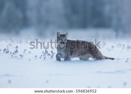 947dd4e1d62f Young Puma Snow Stock Photo (Edit Now) 596836952 - Shutterstock
