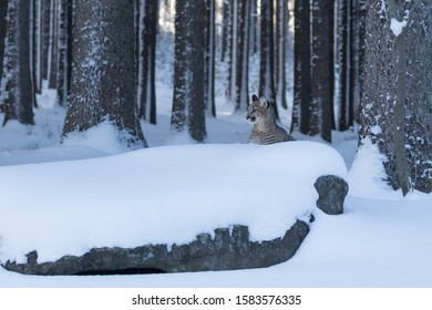 young puma walking in snow in snow covered forest with trees in background