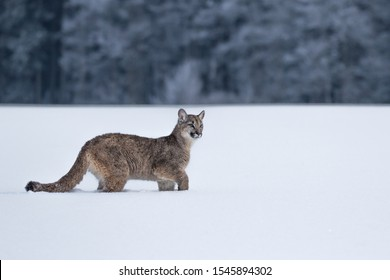 young puma walking in snow in winter landscape with snow covered forest in background