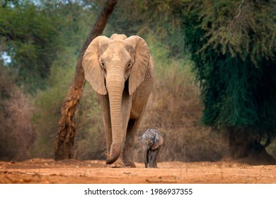 Young pup Elephant at Mana Pools NP, Zimbabwe in Africa. Big animal in the old forest, evening light, sun set. Magic wildlife scene in nature. African baby elephant in beautiful habitat. - Shutterstock ID 1986937355